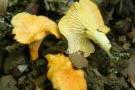 Cantharellus friesii/