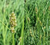 Carex cuprina