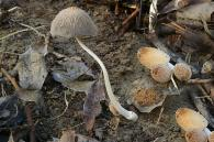 Coprinellus truncorum/