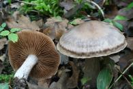 Cortinarius bulbosus/Cortinario bulboso