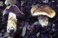 Cortinarius caligatus/