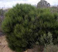 Ephedra major