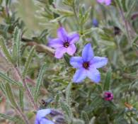 Lithodora fruticosa
