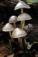 Mycena inclinata/Micena inclinada, Kanpaitxo etzana