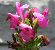 Pedicularis pyrenaica