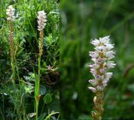 Polygonum viviparum