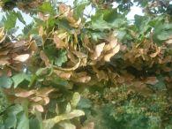 Arce campestre/Acer campestre
