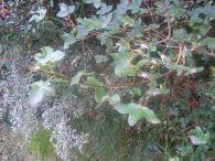 Arce de montpelier/Acer monspessulanum