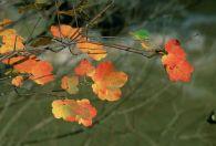 Acir�n/Acer opalus