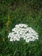 Milenrrama/Achillea millefolium