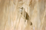 Carricero Tordal/Acrocephalus arundinaceus