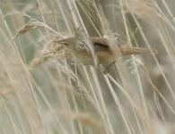 Carricero Común/Acrocephalus scirpaceus