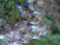 Adenostyles alliariae/Adenostyles alliariae
