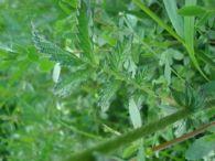 Agrimonia/Agrimonia eupatoria