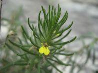 Ajuga chamaepitys (L.) Schreb., Pinillo.