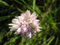 Ajo de culebra/Allium roseum