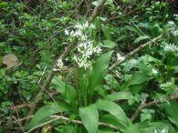 Ajo de oso/Allium ursinum