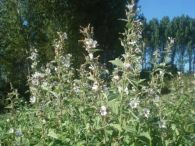 Malvavisco/Althaea officinalis
