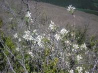Guillomo/Amelanchier ovalis