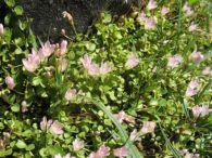 Hierba gallinera/Anagallis tenella