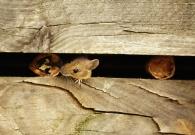 Ratón de campo/Apodemus sylvaticus