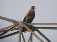 Aguila Imperial Ibérica/Aquila adalberti