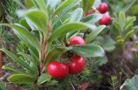 Arctostaphylos uva-ursi (L.) Sprengel, Gayuba, Uva de oso, Uva de zorro, Madroño rastrero
