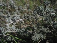 Ontina/Artemisia herba-alba