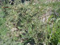 Esparraguera silvestre/Asparagus acutifolius