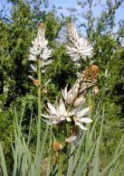 Asfodelo blanco/Asphodelus albus
