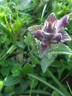 Bartsia alpina/Bartsia alpina