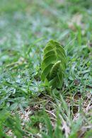 Lunaria menor/Botrychium lunaria