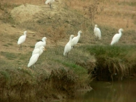 Garcilla Bueyera/Bubulcus ibis