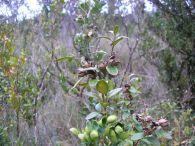 Boj/Buxus sempervirens