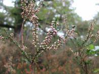 Brecina/Calluna vulgaris