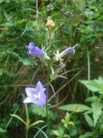 Campanula persicifolia/Campanula persicifolia