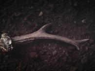 Corzo/Capreolus capreolus