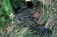 Chotacabras Gris/Caprimulgus europaeus
