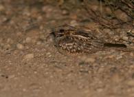 Chotacabras Pardo/Caprimulgus ruficollis