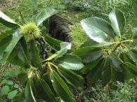 Castanea sativa Mill., Fagus castanea L., Casta�a