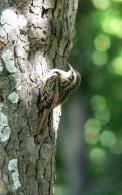 Agateador Com�n/Certhia brachydactyla