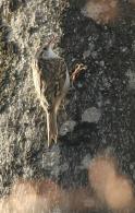 Agateador Norteño/Certhia familiaris