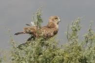 Culebrera Europea/Circaetus gallicus