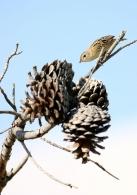 Buitrón/Cisticola juncidis