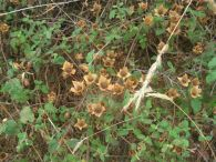 Jara hoja de salvia/Cistus salviifolius