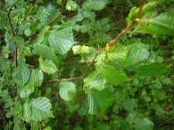 Avellano/Corylus avellana