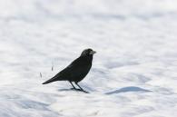 Cuervo/Corvus corax