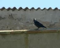 Grajilla/Corvus monedula