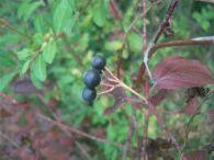 Cornejo/Cornus sanguinea