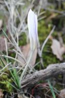 Crocus nevadensis/Crocus nevadensis